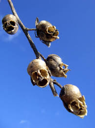 snapdragon flowers snapdragon flowers turn into macabre human looking skulls when