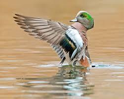 New Mexico wildlife tours images Kenconger photo keywords american widgeon duck new mexico jpg
