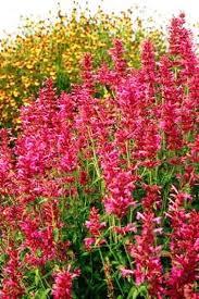 High Heat Plants Agastache Heatwave Agastache Pinterest Perennials Gardens