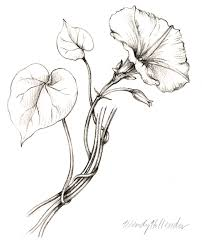 morning glory from the collection of botanical illustrations of