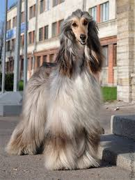 afghan hound judith light 115 best cute images on pinterest animals dogs and funny things