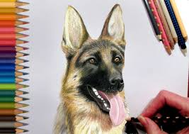 drawn german shepherd pencil drawing pencil and in color drawn