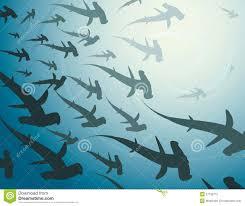 of hammerhead sharks stock photography image 27126712