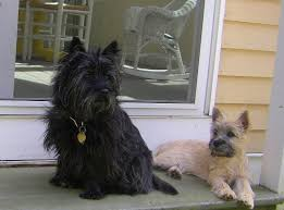 cairn hair cuts meet the cairn terrier cairn terrier club of america