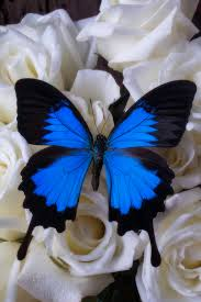 large blue butterfly on white roses photograph by garry