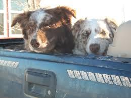 d bar d australian shepherds australian shepherds mcdaniel u0027s wild west ranch