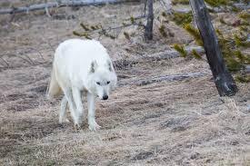 yellowstone national park white wolf 1492220035 jpg