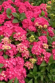 pink hydrangea pink hydrangea monrovia pink hydrangea
