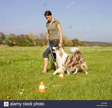 australian shepherd k woman and australian shepherd dog walking through cones stock