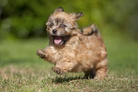 20 small dog breeds that u0027re so darn adorable they don u0027t even seem