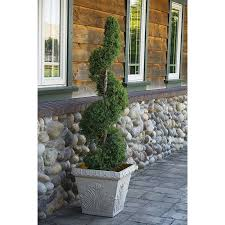 Spartan Home Decor by Shop Monrovia 3 58 Gallon Spartan Juniper Spiral Screening Shrub