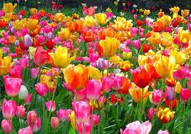 wallpaper bunga tulip aneka gambar bunga tulip yang mengesankan mata pernik dunia