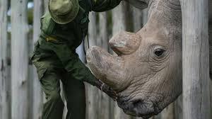 cnn 10 archive cnn last northern white rhino in the is on cnn