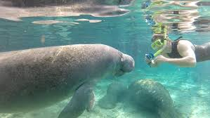 Florida wild swimming images Swimming with florida manatees jpg