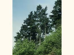 norway spruce picea abies woodland trust