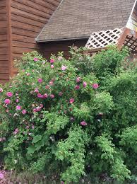 montana native plants westland seed inc hardy flowering shrubs for montana westland