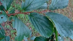 missouri native plant society know your natives u2013 ozark witch hazel arkansas native plant society