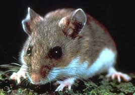 Are Mice Blind How To Get Rid Of Mice Mouse Control