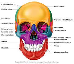 Base Of The Skull Anatomy Classification Of Bones
