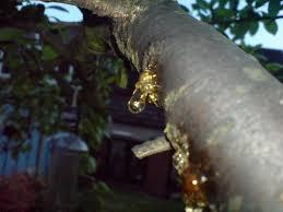plum tree disease tree health care arbtalk the social