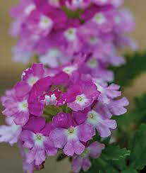 verbena flower learn about verbenas