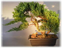 small and large traditional juniper bonsai