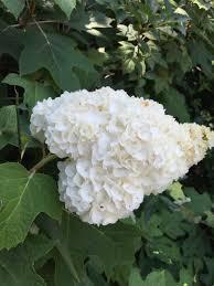 White Hydrangeas Summer White Hydrangeas Birmingham Gardening Today