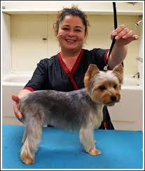 before and after yorkshire terriers short hair cut best yorkie hair cuts you how to trim a light coated yorkie