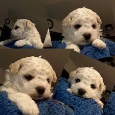 bichon frise kennels akc bichon frise puppies bichon frise breeder in illinois home