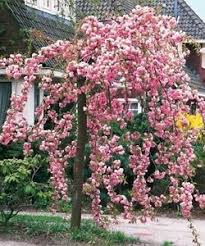 flowering cherry trees ebay