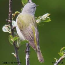 Tennessee birds images Tennessee warbler north american birds birds of north america jpg