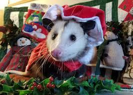 343 best possums opossums images on pinterest cousins wildlife