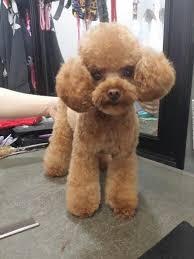 different toy poodle cuts 63 best poodle hairdo s images on pinterest poodles poodle