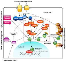 si e social hippopotamus genes free text alternative splicing in the hippo pathway