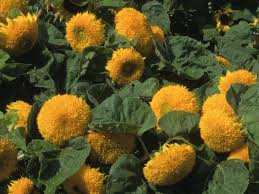 teddy sunflowers how to plant sunflowers in decorative pots hgtv