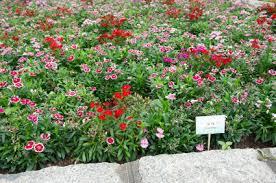 dianthus flower dianthus dianthus flower dianthus flowers