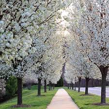 flowering pear tree cleveland select degroot