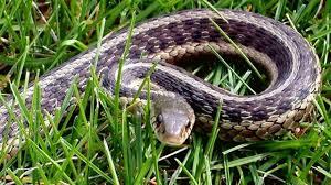 wow identify garter or garden snake types youtube