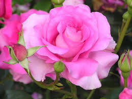 hybrid tea pink rose beautiful flowers picture