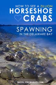 Delaware how to become a travel writer images How to see a zillion horseshoe crabs spawning in the delaware bay jpg