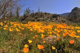 flowers tucson sonoran desert april tucson arizona article by