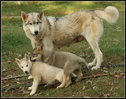 wolf and cubs by greensh on deviantart