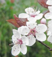 the flowering plums are largely grown for their ornamental value