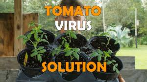 Tomato Plant Wilt Disease - tomato plants with spot wilt virus this should help youtube