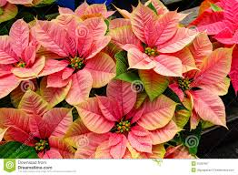 poinsettia plants in bloom as christmas decorations royalty free