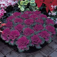 ornamental kale nagoya f1 harris seeds