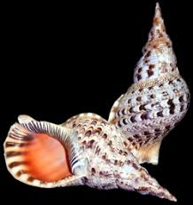 Where To Buy Seashells Shell Horizons Large Size Seashells