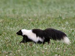 how to deal with problem skunk in connecticut wildlifehelp org