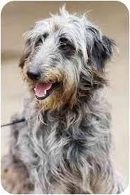 afghan hound ireland cricket adopted dog portland or standard poodle afghan