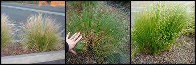 stop don t prune that grass how to prune ornamental grasses